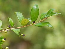 220px-Myrtus communis buds