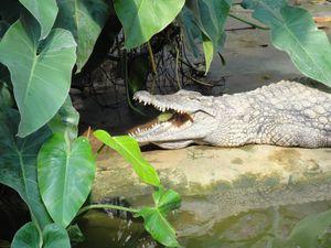 le farniente du crocodile