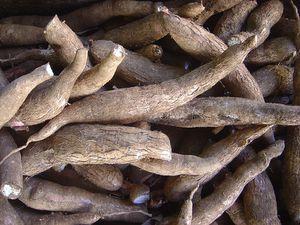 racines manioc