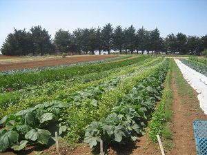 800px-UCSC_farm_rows.jpg