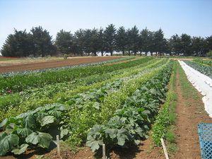 800px-UCSC_farm_rows.jpg