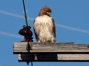 800px-Red-tailed_Hawk-27527-2.jpg