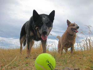 800px-Cattle_dog_with_tennis_ball.jpg