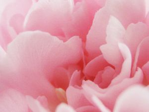 Carnation 2 by bing125-DeviantArt