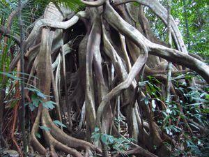 044 : Grandes grandes racines, Taman Negara
