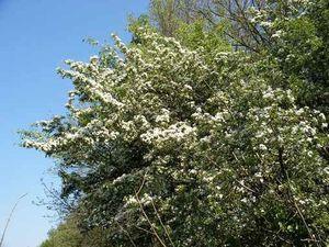arbre-aubepine.jpg