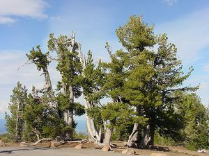 800px-Whitebark_pine_group.jpg