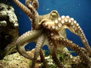 mid-Moving_Octopus_Vulgaris_2005-01-14.ogg.jpg