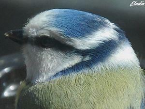 Portrait-mesange-bleue-4-a20660828