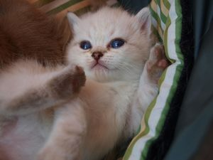 Chaton British shorthair colorpoint