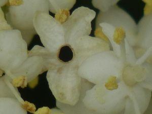 fleur erdeven P6043110