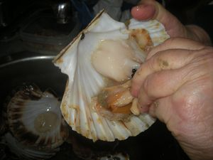 Coquilles-St-jacques---12-.JPG