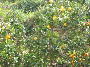 53 Manarola citrons