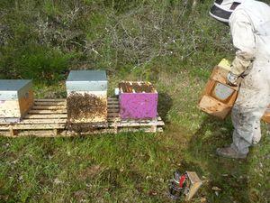 transvasement ruche