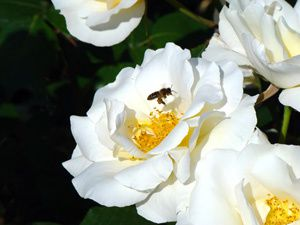 Roses-de-Nice butin&#xE9;es par des abeilles.jpg