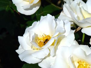 Roses-de-Nice-et abeilles-.jpg