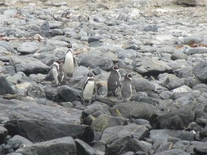 2012083155 Réserve des manchots Isla Choros