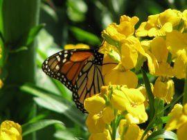 papillon-dans-des-fleurs-jaunes-t2.jpg