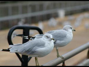 Coucou-Mouettes.jpg