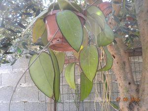 pianta hoya fuscomarginata