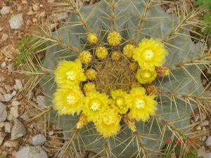 Fiore ferocactus glaucescens