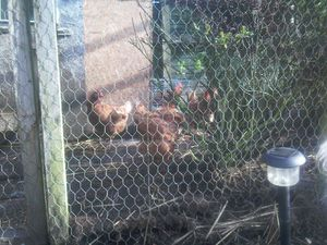 Chickens-used.jpg