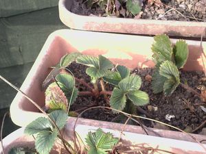 Strawberries-2-used.jpg
