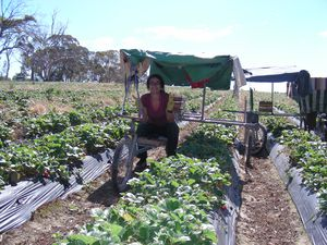 http://img.over-blog.com/300x225/5/04/06/24/Strawberry-picking-at-Nairne/DSCN0564.JPG