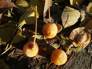 fruits-du-ginkgo.JPG