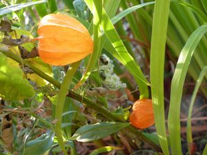 physalis-lampion-orange.jpg