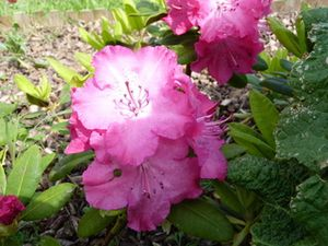 rhododendron.resized.resized.jpg
