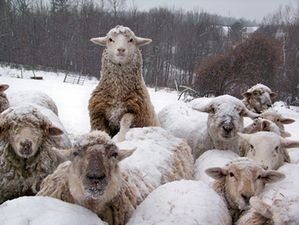 moutons-grand-froid-animal-cross.jpg