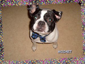 Mozart-mon-chien.jpg
