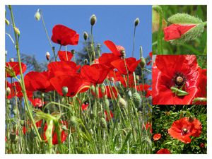 montage-coquelicots-BB-sign-red.jpg