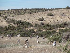 104 Punta Tombo Manchot de Magellan