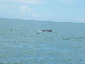 090 Baleine à bosse du Parc Marino Ballena