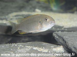 pseudotropheus perspicax femelle