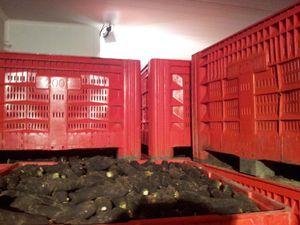 stockage radis noir CONV 122012