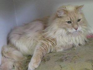 1269208673_81980863_2-Maine-Coon-Persian-Cat-Adoption-Lahor.jpg