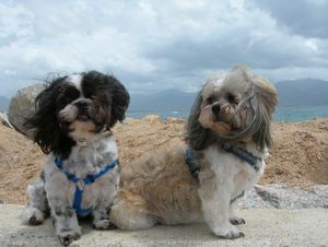 553060-animaux-chiens-shih_tzu.jpg