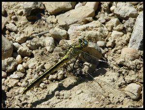 P1140917-Gomphus pulchellus 25 mai 2010 Les Mages