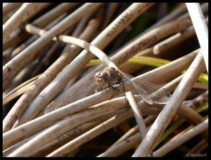P1010719-Sympetrum striolatum novembre 2010 Forêt de Saou
