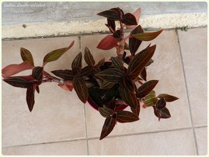Ludisia discolor red velvet (17)