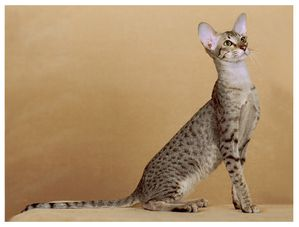 orange-oriental-shorthairoriental-shorthair-h5uxz6wu.jpg