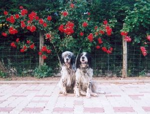 133503-animaux-chiens-setter_anglais.jpg