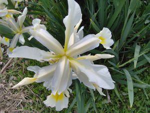 Iris Orientalis Isa 3 dessus