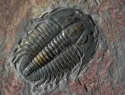 CambrianFossil