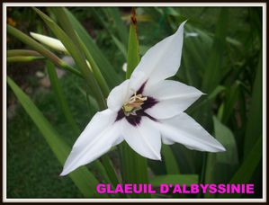 GLAEUIL D'ABYSSINIE