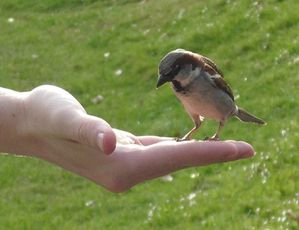 oiseau-House_Sparrow_feeding_from_hand-richard.jpg