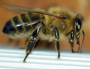 779px-Abeille-bee-profil.JPG